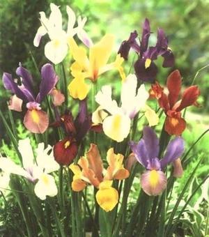 Dutch Iris Beauty Super Mixture