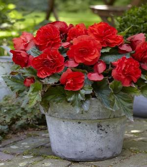 Begonia Odorosa Red Sunset