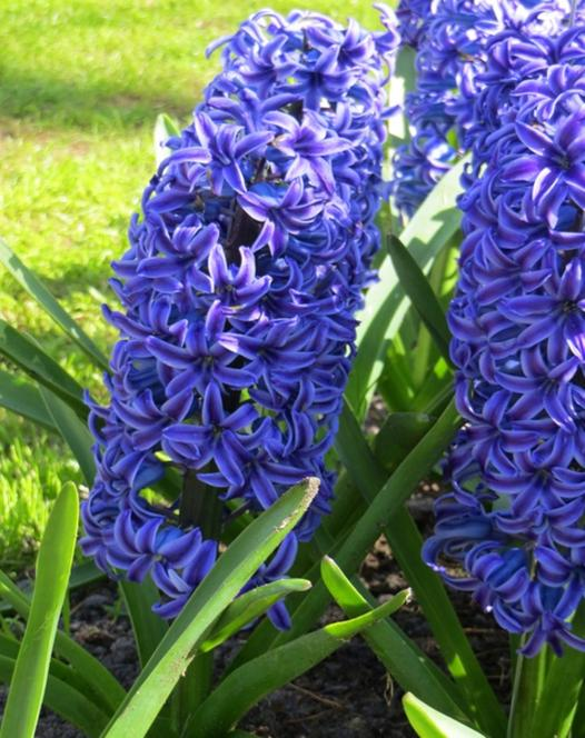 Hyacint Blue Jacket