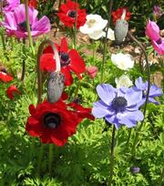 Anemone Coronaria De Caen Gemengd