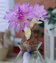 Colchium Waterlily