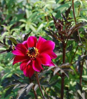 Dahlia Bishop of Canterbury ®