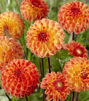 Dahlia Jowey Chantal