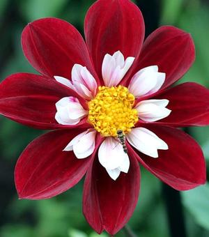 Dahlia Mary Evelyn