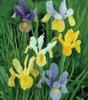 Dutch Iris Mixture