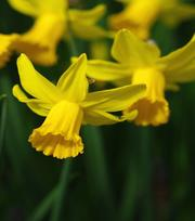 Narcis February Gold