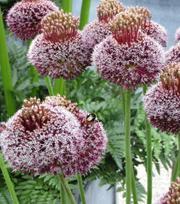 Allium Amethystinum Forelock