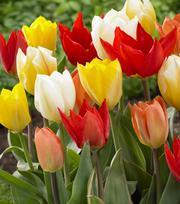 Tulpen  - Fosteriana Gemengd