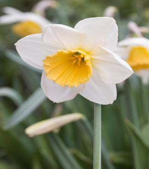 Narcissus Fragrant Breeze