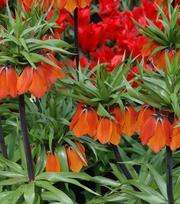 Fritillaria Imperials Rubra