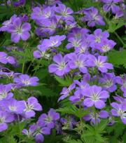 Geranium Mayflower