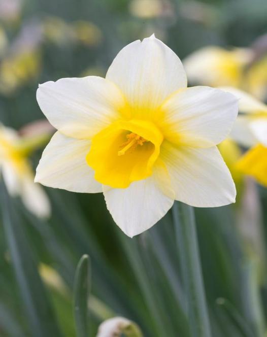 Narcis Golden Echo