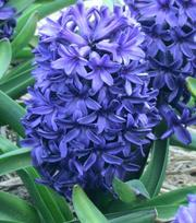 Hyacint Peter Stuyvesant