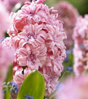 Hyacinth Annabelle