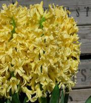 Hyacint Yellow Queen