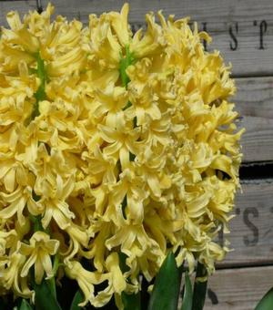 Hyacinth Yellow Queen
