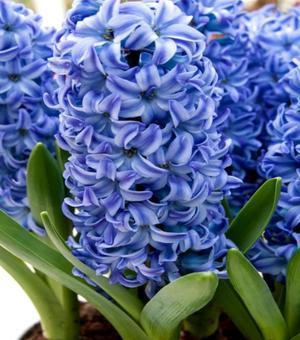 Hyacinth Aqua