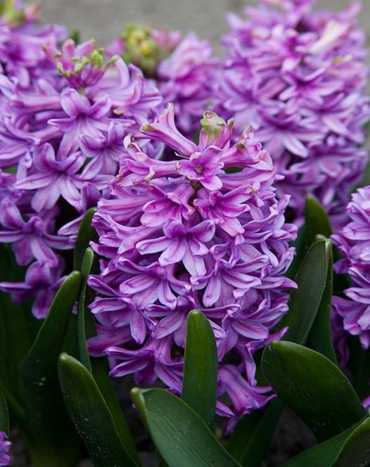 Hyacint Purple Voice