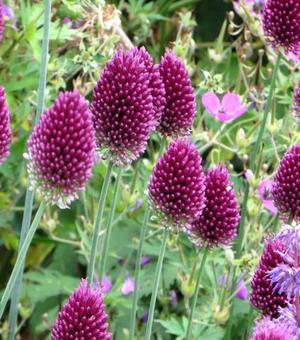 Allium Sphaerocephalum (Trommelstok)
