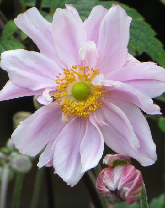 Anemone Mont Rose