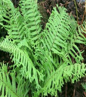 Dryopteris Cristata The King - P9