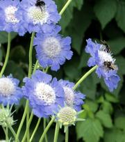 Scabiosa perfecta Blue