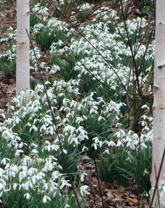 Sneeuwklok Enkel (Nivalis Simplex)