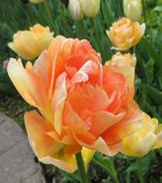 Tulp Charming Beauty