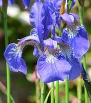 Iris Sibirica Perry's Blue