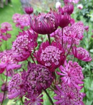 Astrantia Major Washfield - P9 (Zeeuws knoopje)