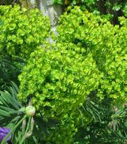 Euphorbia characias (subs Wulfenii)