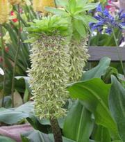 Eucomis Bi-Colour