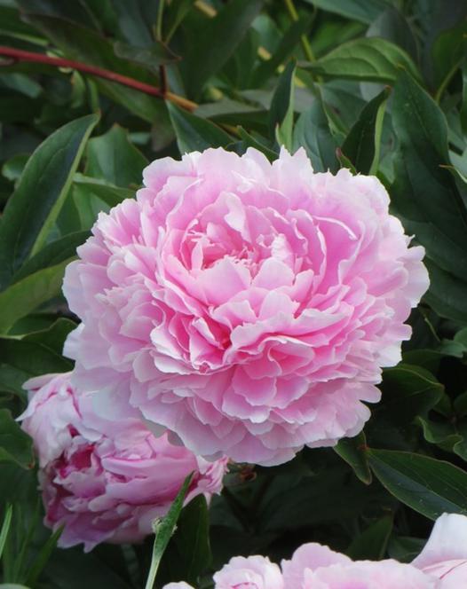 Paeonia (Pioenroos) Sarah Bernhardt