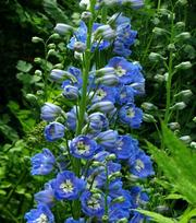 Delphinium Blue Bird - P9 (Ridderspoor)