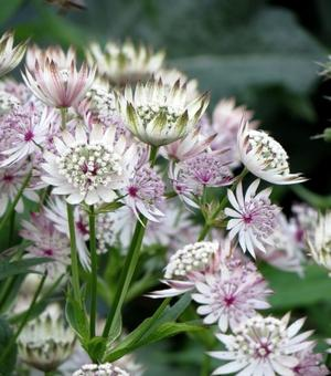 Astrantia Major - P9 (Zeeuws Knoopje)