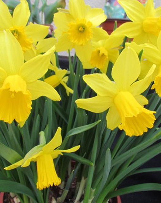 Narcissus Tamara 25 kg