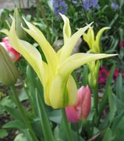 Tulp Green Dance