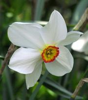 Narcis Actaea