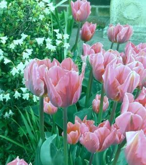 Tulip Pink Irene
