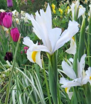 Dutch Iris White Magic