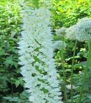 Eremurus White Beauty Favourite