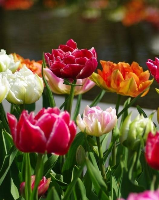 Tulip Double Early Mixture