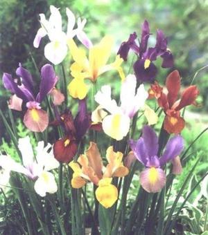 Dutch Iris Beauty Super Mix
