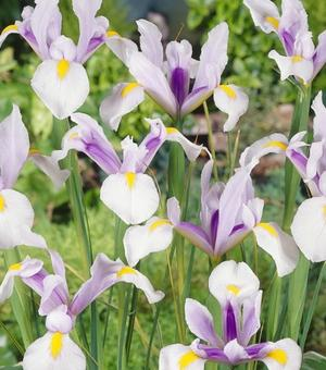Dutch Iris Carmen