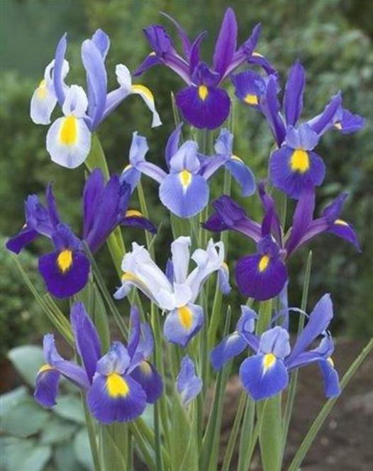Dutch Iris Pretty in Blue Mixture