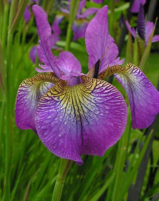 Iris Siberica Sparkling Rose