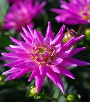 Dahlia Karma Pink Corona