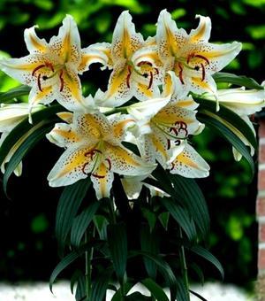 Lilium Auratum Gold Band