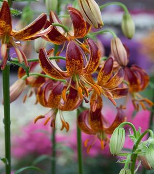 Lilium Arabian Night