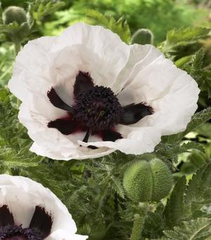 Papaver (Poppy) Royal Wedding